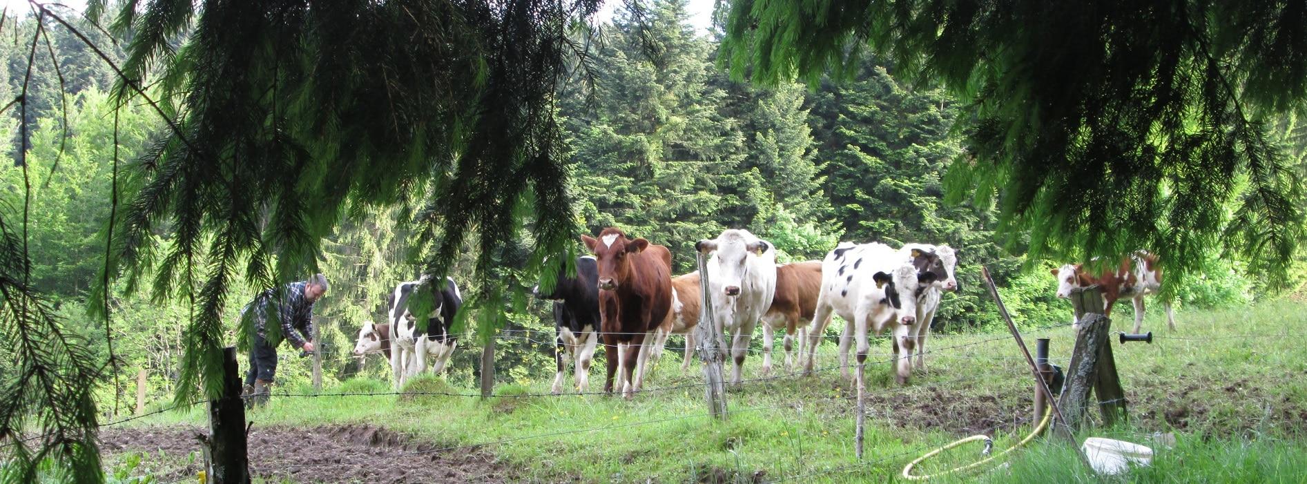 Kühe auf der Weide am Rand vom Wald